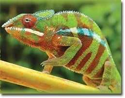 Bukalemunlar neden ve nezaman renk değiştirler ?