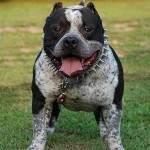 Pitbull Köpeği Hakkında bilgi