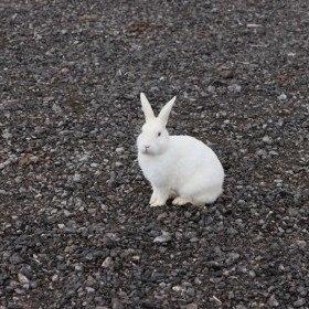 Ak Tavşan Hakkında bilgiler