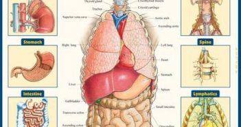 Böbrek insan vücudundaki yeri