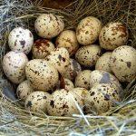 Bıldırcın Yumurtası Nasıl Yenir?