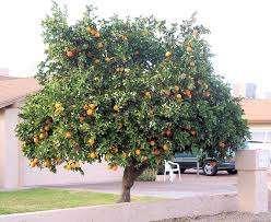 Portakal ağacı Nasıl Yetiştirilir ve Ne Zaman Budanır?