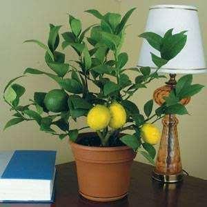 Saksıda Evde Ofiste limon Portakal Fidan Nasıl Yetiştirilir?