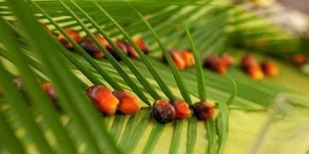 Palmiye Yağı Nedir ? Kanserojenmi ?