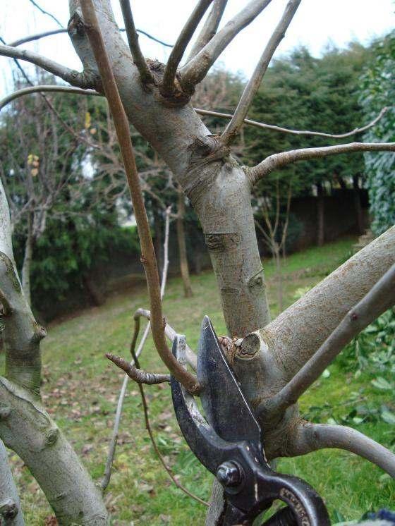 Armut Ağacı Budama ve Şekillendirme