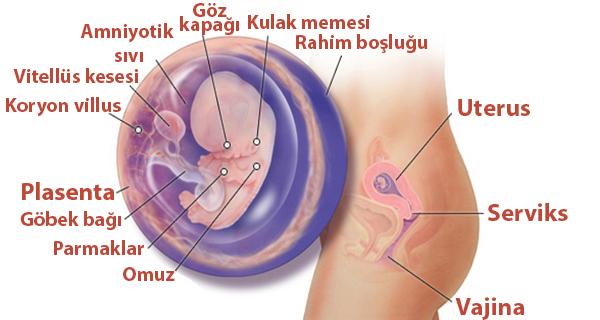 Hamileliğin 9.Haftası Bebek Gelişimi ve Resimleri