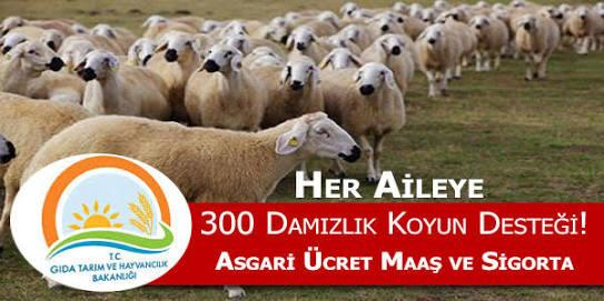 Devletin 300 Koyun şartları Nedir?