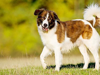 Aidi Köpeği Hakkında Bilgiler