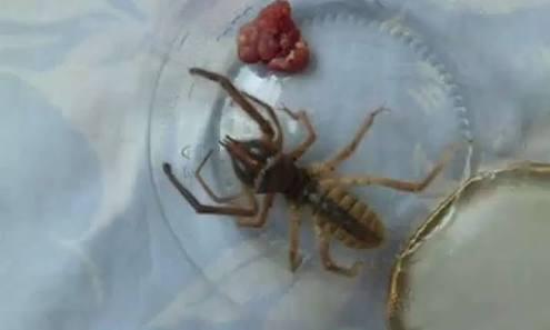 Sarıkız Örümceği hangi illerimizde görülmüştür