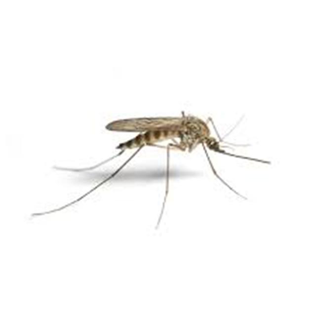 Sivri Sinekler Ortadan Kalksa Ne Olurdu?