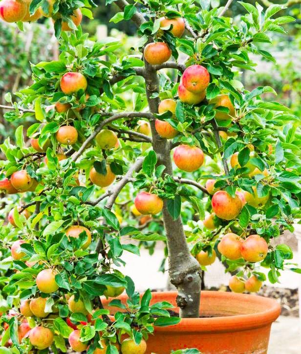 Saksıda Elma Ağacı Yetiştirme ve püf noktaları