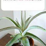 Aloe vera bakımı