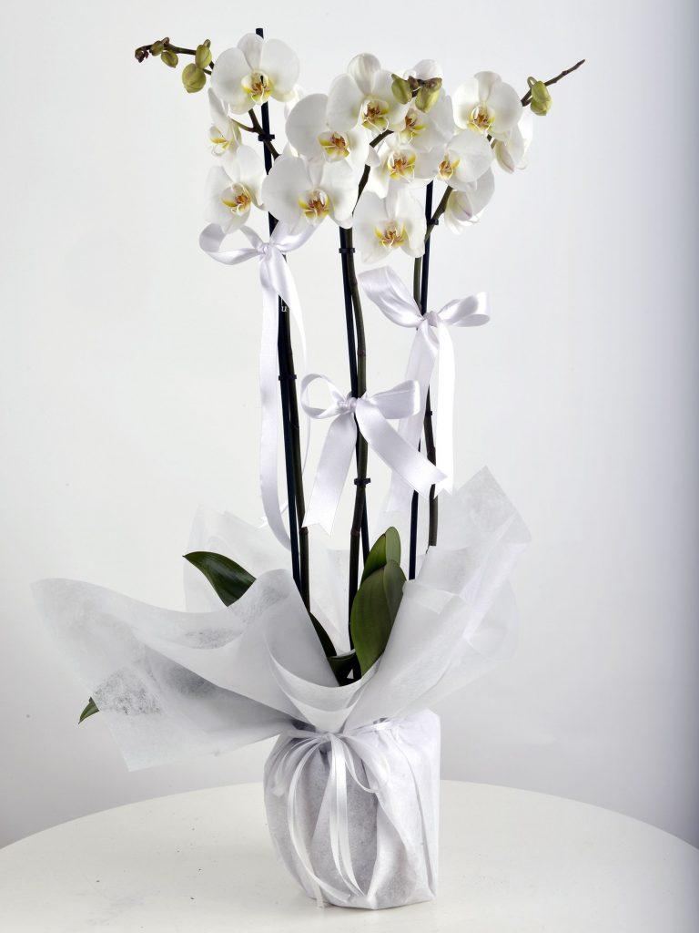 orkide beyaz renk vazo