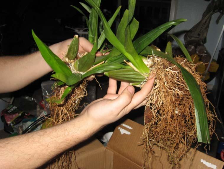 orkide çiçeğini çoğaltma