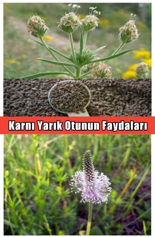 Karnı Yarık Otunun Faydaları ( Plantago Psyllium)