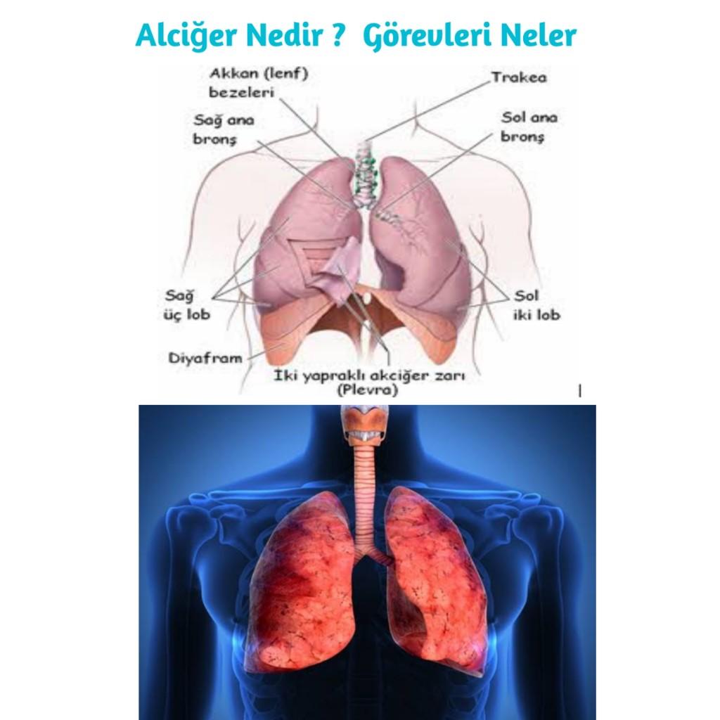 Akciğer insan vücudunda nerde bulunur