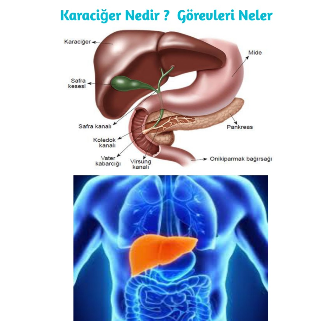 Karaciğerin vücudundaki yeri