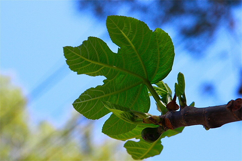 İncir Yaprağı İle Diyabetten Kurtulmak