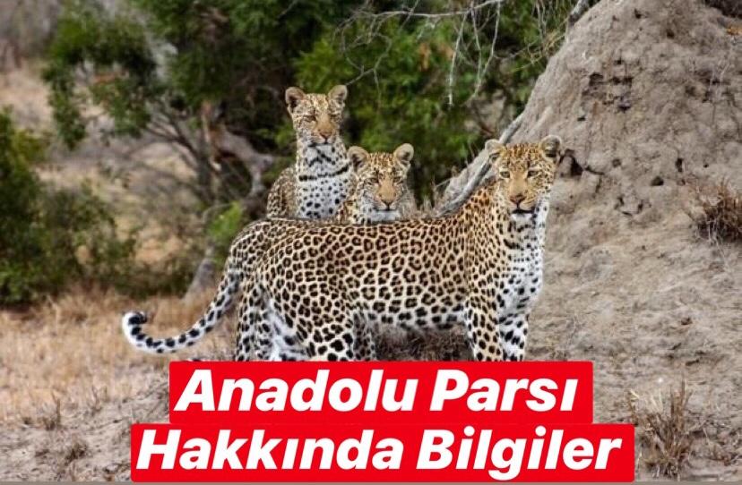 Anadolu Parsı Hakkında Bilgi