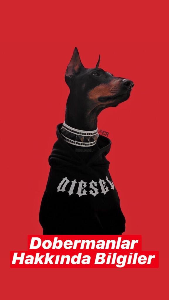 Doberman Köpekleri Hakkında Bilgiler