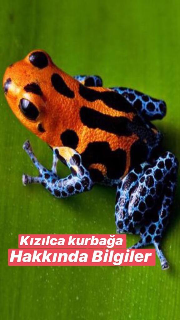 Kızılca Kurbağa Hakkında Bilgiler
