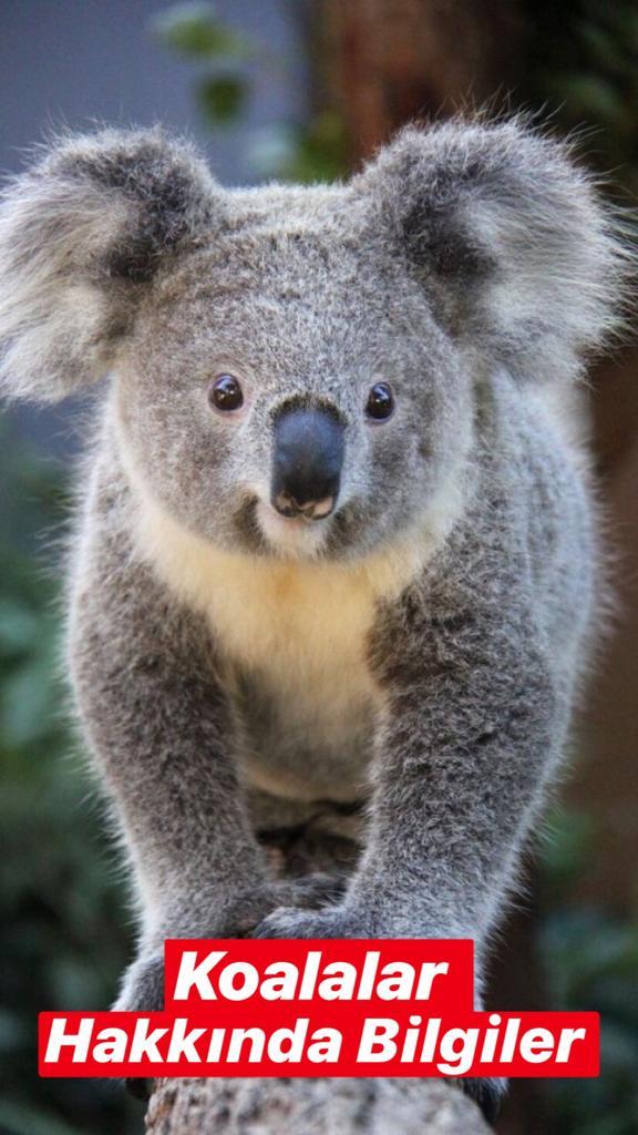 Koala Hakkında Bilgiler