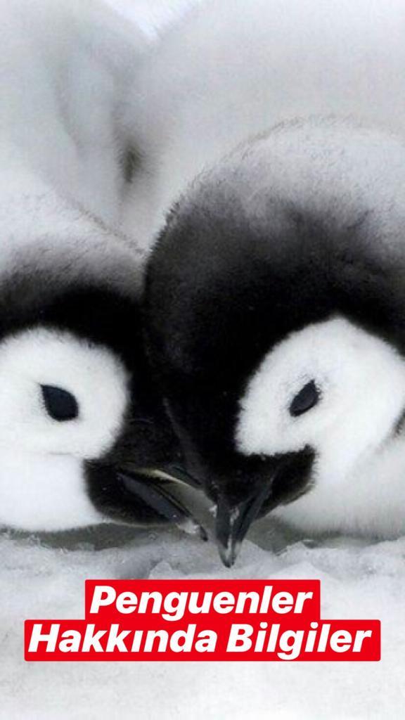Penguenler Hakkında Bilgiler