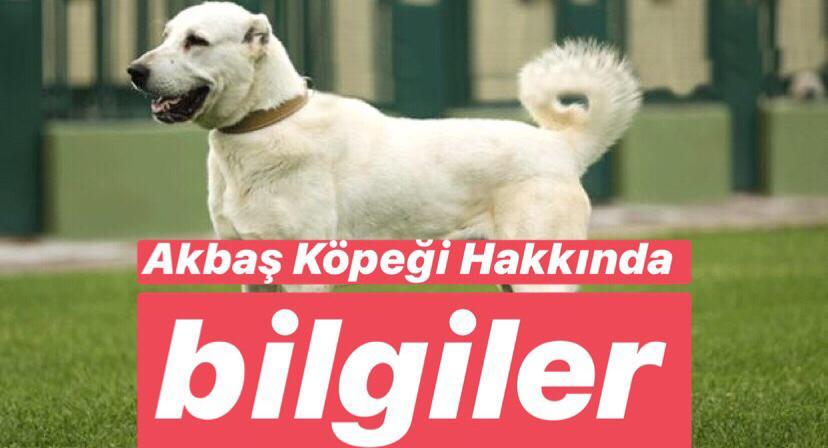Türkiye'de Bulunan Endemik Hayvan Türleri Nelerdir ? Akbaş Nerede Yetişir ?