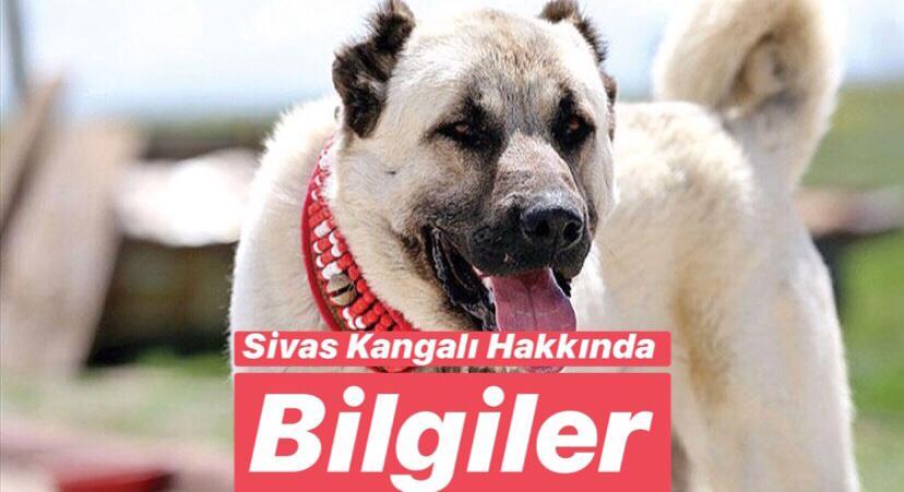 Türkiye'de Bulunan Endemik Hayvan Türleri Nelerdir ?Kangal Köpekleri Nerede Yetişir ?