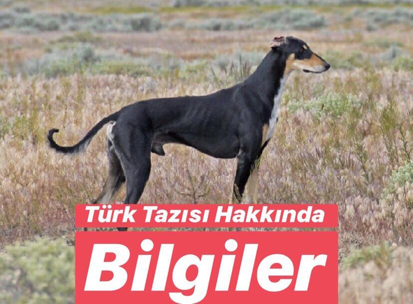 Türkiye'de Bulunan Endemik Hayvan Türleri Nelerdir ? Türk Tazısı Nerede Yetişir ?