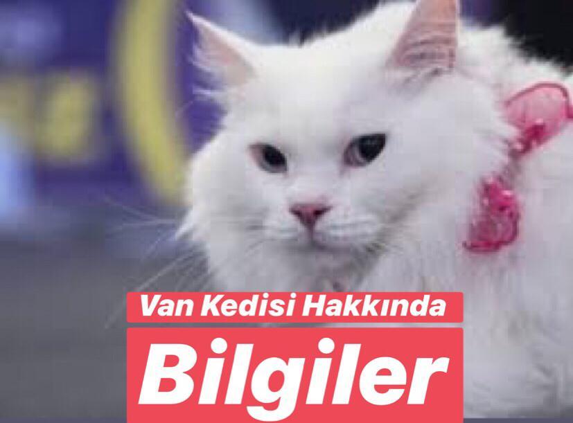 Türkiye'de Bulunan Endemik Hayvan Türleri Nelerdir ? Van Kedisi Nerede Yetişir ?
