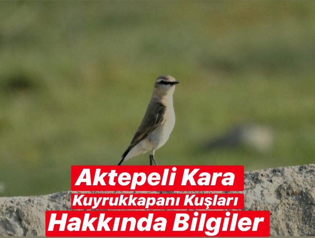 Aktepeli Kara Kuyrukkakan Kuşları Hakkında Bilgiller