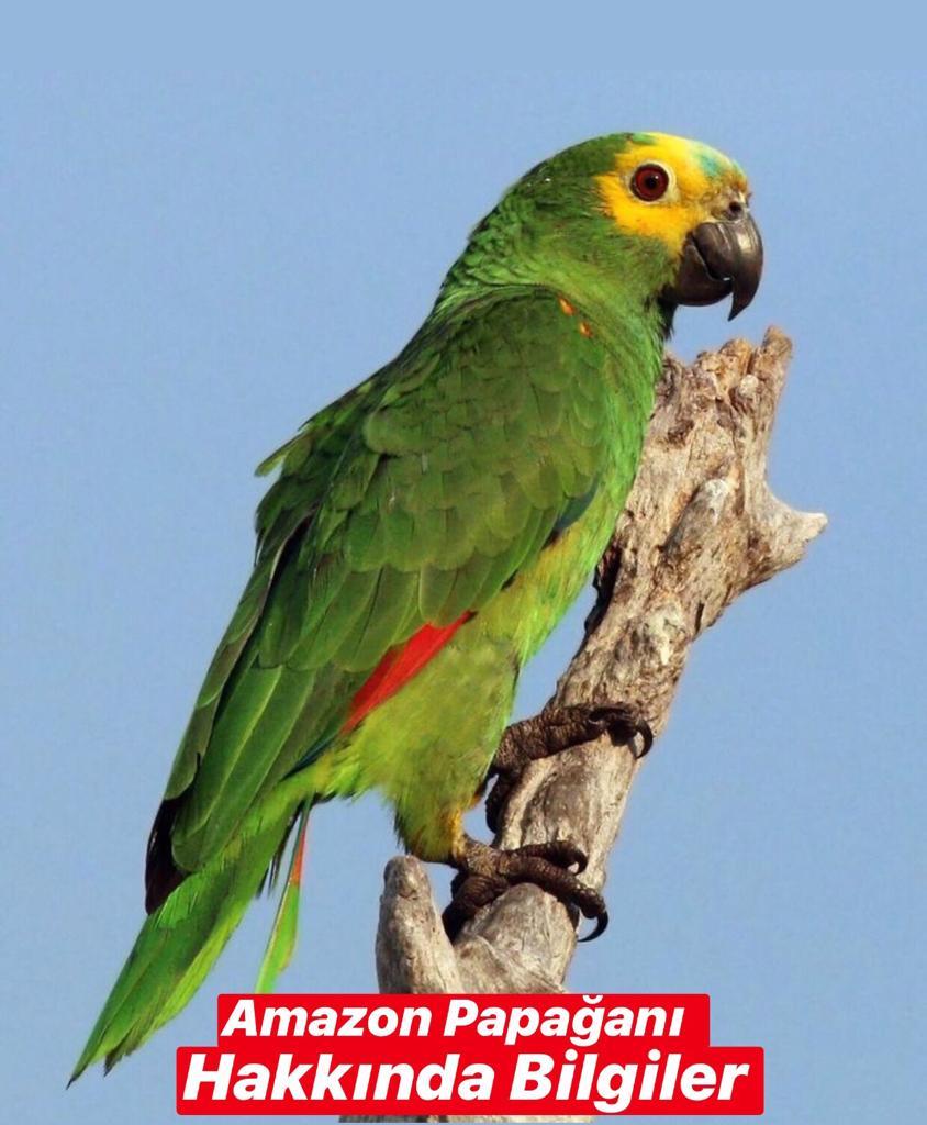 Amazon Papağanı Hakkında Bilgiler