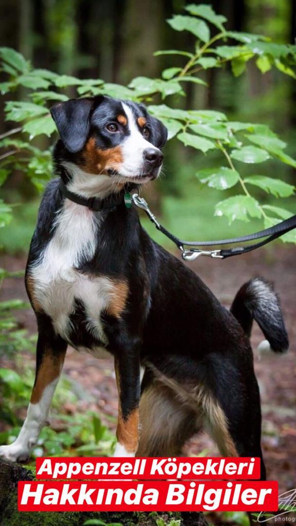 Appenzell Dağ Köpeği Hakkında Bilgiler