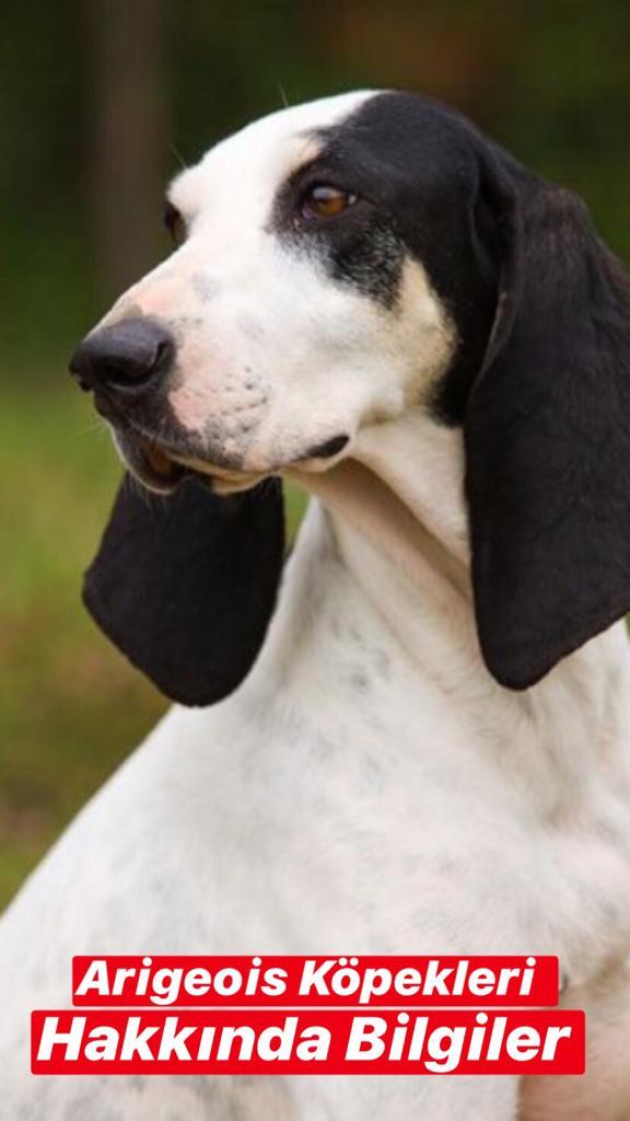 Ariegeois Köpekleri Hakkında Bilgiler