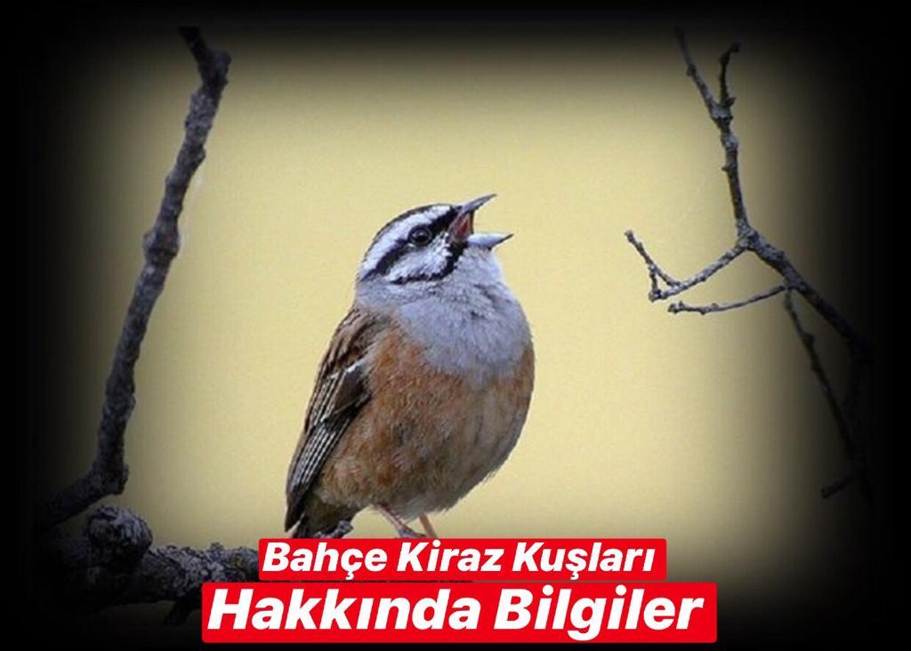 Bahçe Kiraz Kuşları Hakkında Bilgiler