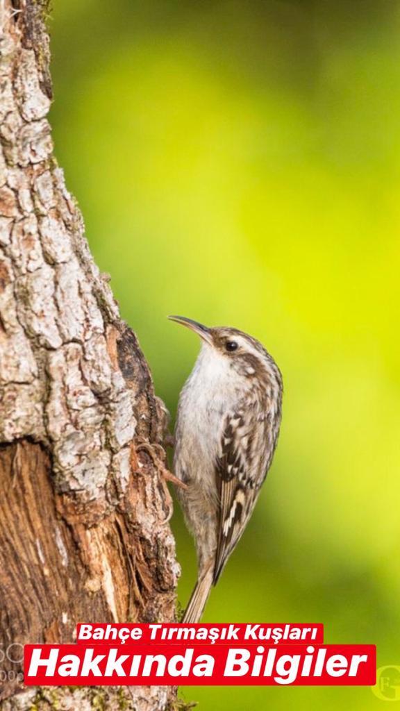Bahçe Tırmaşık Kuşu Hakkında Bilgiler