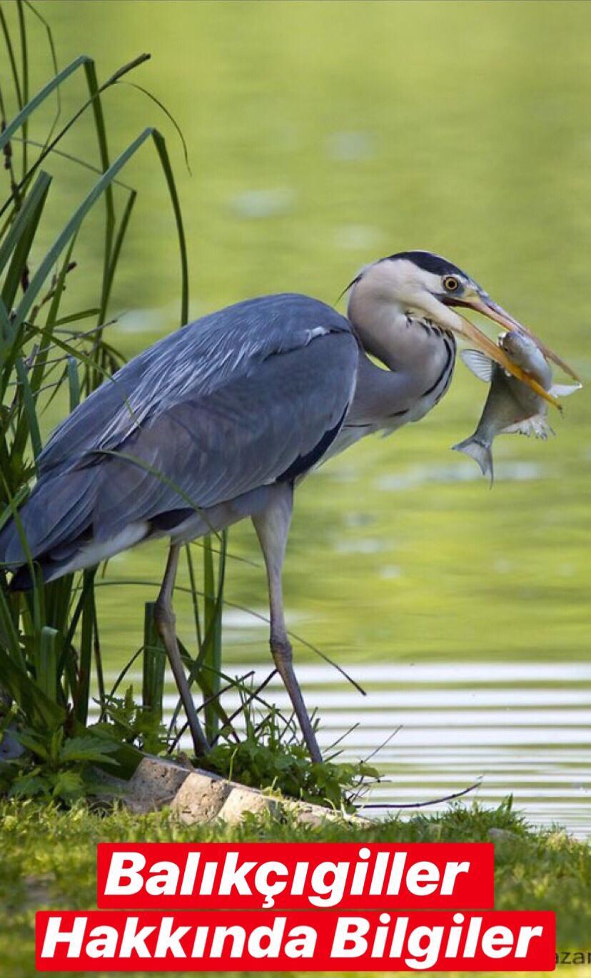 Balıkçılgiller Hakkında Bilgiler