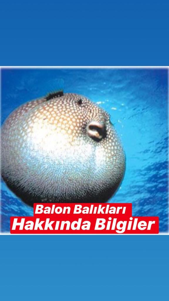 Balon Balığı Hakkında Bilgiler