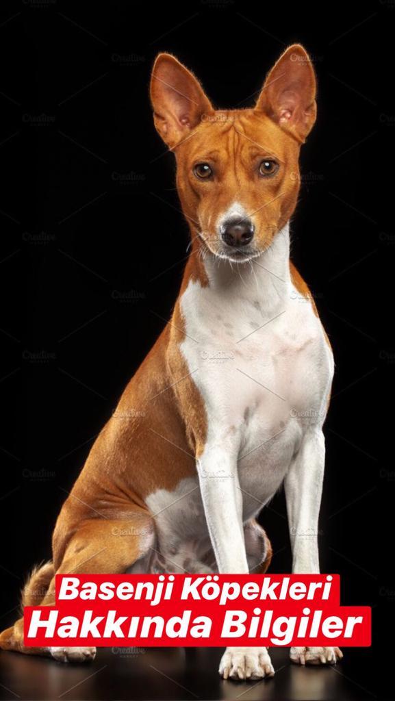 Basenji Köpekleri Hakkında Bilgiler