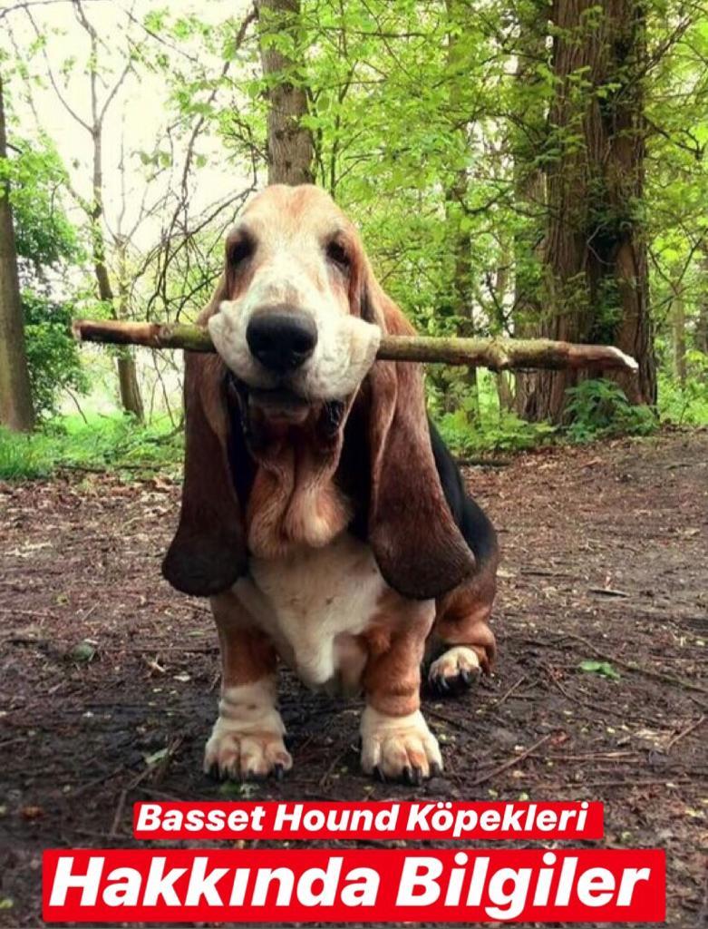 Basset Hound Köpekleri Hakkında Bilgiler