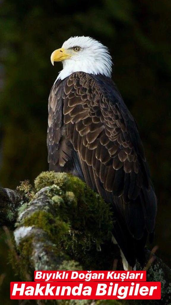 Bıyıklı Doğan Kuşları Hakkında Bilgiler