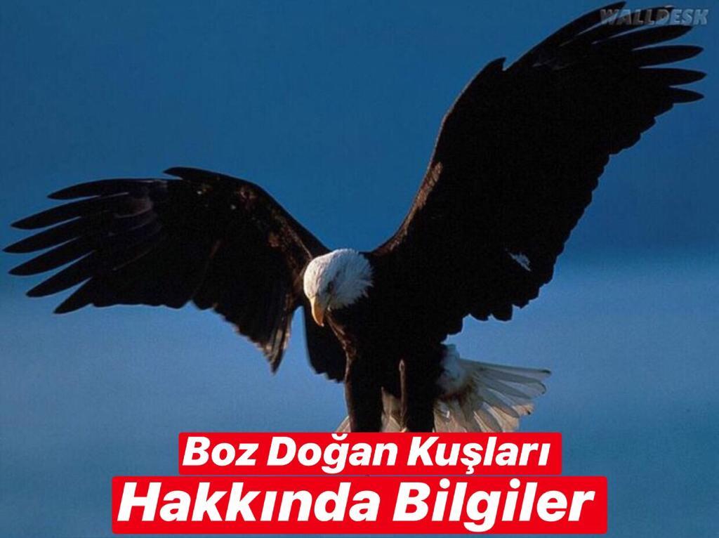 Boz Doğan Kuşları Hakkında Bilgiler