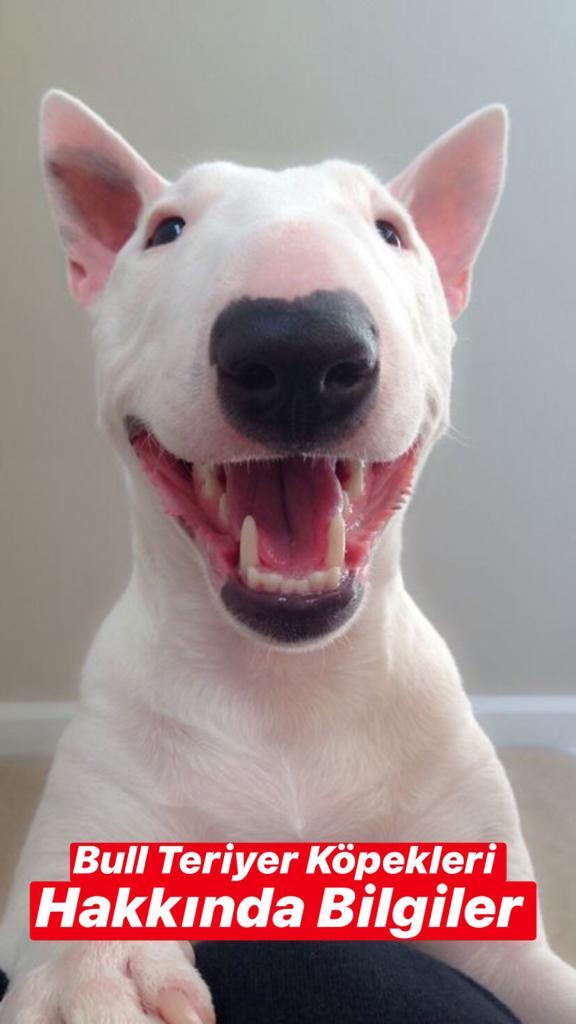 Bull Teriyer Köpekleri Hakkında Bilgiler