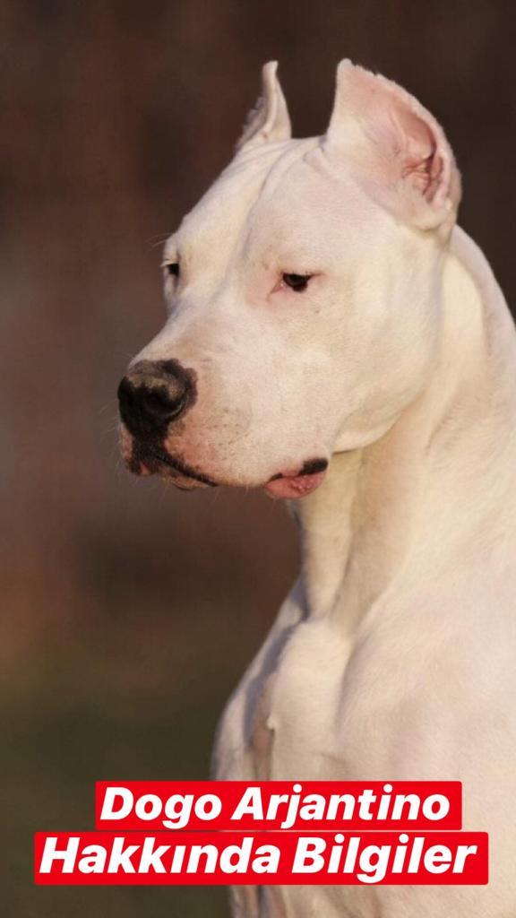 Dogo (Arjantin) Köpekleri Hakkında Bilgiler