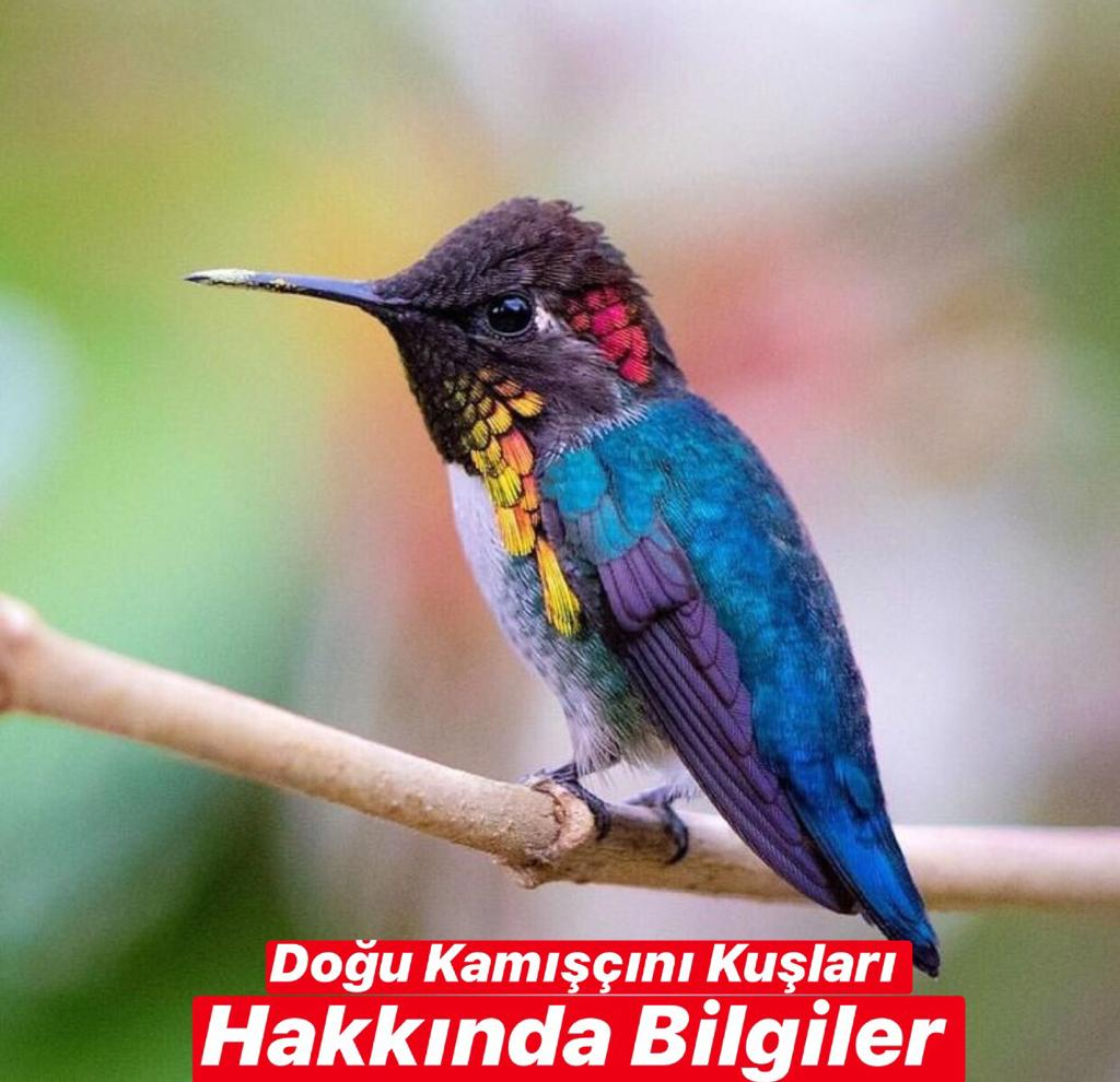 Doğu Kamışçını Kuşları Hakkında Bilgiler