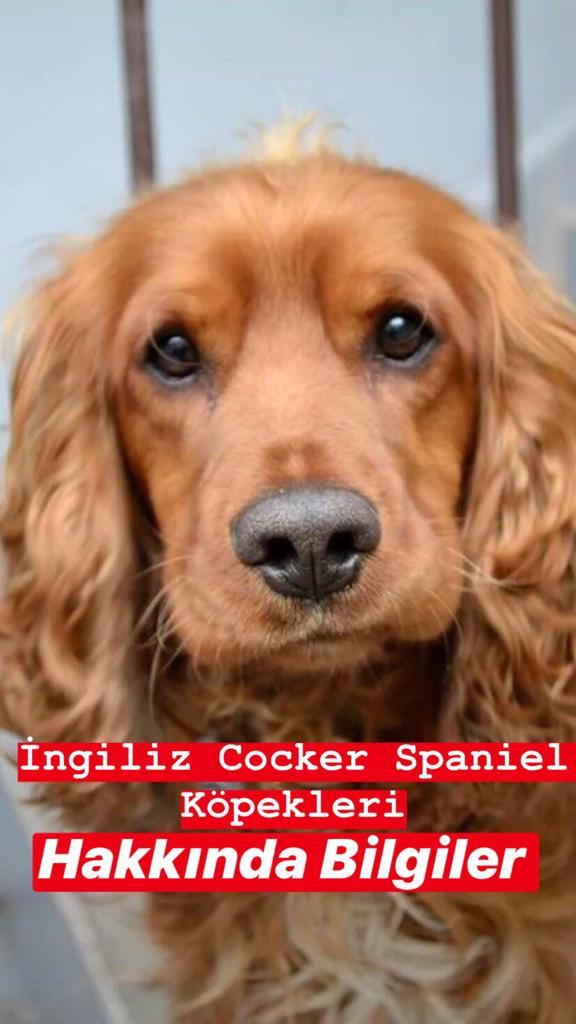 İngiliz Cocker Spaniel Köpekleri Hakkında Bilgiler