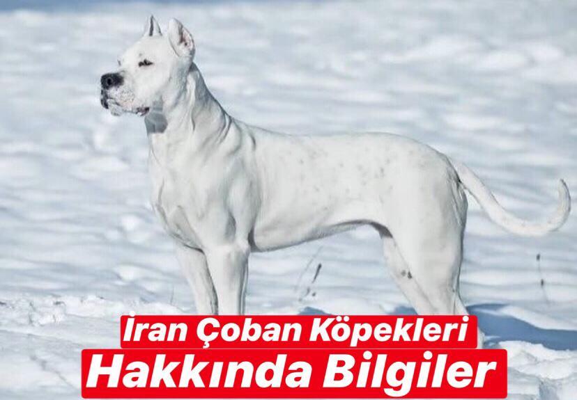 İran Çoban Köpeği Hakkında Bilgiler
