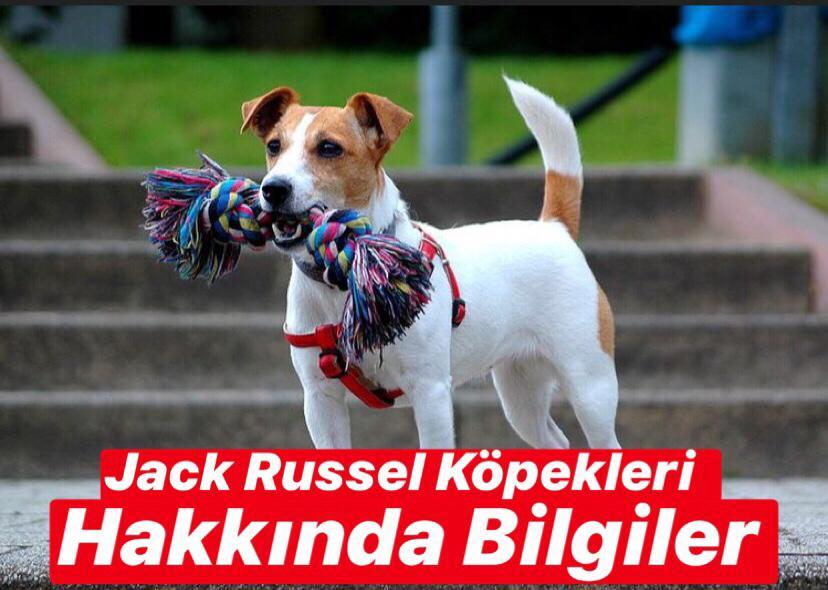 Jack Russell Köpekleri Hakkında Bilgiler