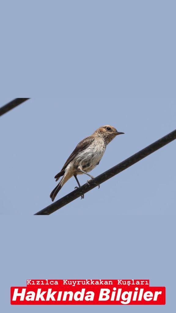 Kızılca Kuyrukkakan Kuşları Hakkında Bilgiler